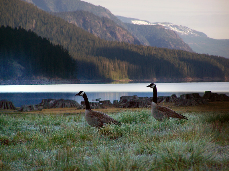 Canada Geese - Nature Stock Image by Professional Nature Photographer Christina Craft - buttle lake