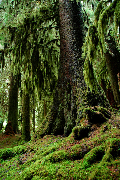 Old growth rainforest tree - giant cedars and pines<br /> Professional Nature Photography by Christina Craft of the Nature Stock Photography Library