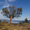 Arbutus tree - Nature Stock Image by Professional Wildlife Photographer Christina Craft