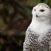 Snowy Owl - shot vertically with enough room for text; Snowy Owl<br /> <br /> One of the heaviest of North American owls, the Snowy Owl Bubo scandiacus stands nearly half a metre tall, with a wingspan of almost 1.5 m.A dense layer of down, overlaid with thick feathering, insulates the Snowy Owl's entire body, including the legs and toes, and enables the bird to maintain a body temperature of 38 to 40°C, even when the air temperature reaches -50°C. In the breeding season, Snowy Owls are typically found from the treeline to the northern limit of Canada, preferring high, rolling tundra with tall points of land for nest sites and perches. In the High Arctic, nests are typically situated among such upland plants as willow, saxifrage, heather, and lichens, but in the Low Arctic, the owls tend to use dense, hummocky, dwarf shrub meadow for nesting.<br /> Wildlife photography - Pictures of Animals - by professional wildlife photographer Christina Craft