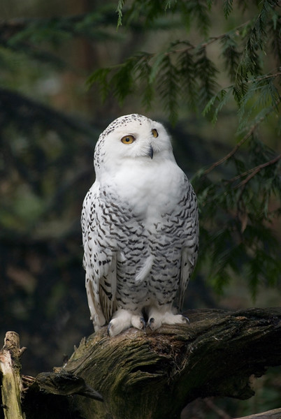 White Snowy Owl<br /> Wildlife photography - Pictures of Animals - by professional wildlife photographer Christina Craft