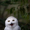 Snowy Owl<br /> Snowy Owl<br /> <br /> One of the heaviest of North American owls, the Snowy Owl Bubo scandiacus stands nearly half a metre tall, with a wingspan of almost 1.5 m.A dense layer of down, overlaid with thick feathering, insulates the Snowy Owl's entire body, including the legs and toes, and enables the bird to maintain a body temperature of 38 to 40°C, even when the air temperature reaches -50°C. In the breeding season, Snowy Owls are typically found from the treeline to the northern limit of Canada, preferring high, rolling tundra with tall points of land for nest sites and perches. In the High Arctic, nests are typically situated among such upland plants as willow, saxifrage, heather, and lichens, but in the Low Arctic, the owls tend to use dense, hummocky, dwarf shrub meadow for nesting.<br /> Wildlife photography - Pictures of Animals - by professional wildlife photographer Christina Craft