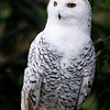 Snowy Owl<br /> <br /> One of the heaviest of North American owls, the Snowy Owl Bubo scandiacus stands nearly half a metre tall, with a wingspan of almost 1.5 m.A dense layer of down, overlaid with thick feathering, insulates the Snowy Owl's entire body, including the legs and toes, and enables the bird to maintain a body temperature of 38 to 40°C, even when the air temperature reaches -50°C. In the breeding season, Snowy Owls are typically found from the treeline to the northern limit of Canada, preferring high, rolling tundra with tall points of land for nest sites and perches. In the High Arctic, nests are typically situated among such upland plants as willow, saxifrage, heather, and lichens, but in the Low Arctic, the owls tend to use dense, hummocky, dwarf shrub meadow for nesting.<br /> Wildlife photography - Pictures of Animals - by professional wildlife photographer Christina Craft