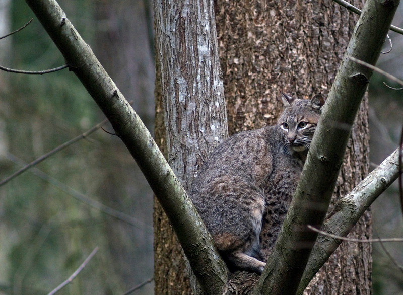 Bobcat in a tree <br /> <br /> Wildlife photography - Pictures of Animals - by professional wildlife photographer Christina Craft