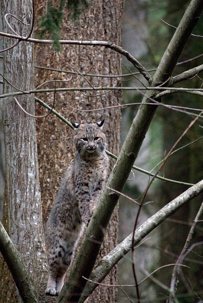 Bobcat climbing up a tree<br /> <br /> Wildlife photography - Pictures of Animals - by professional wildlife photographer Christina Craft