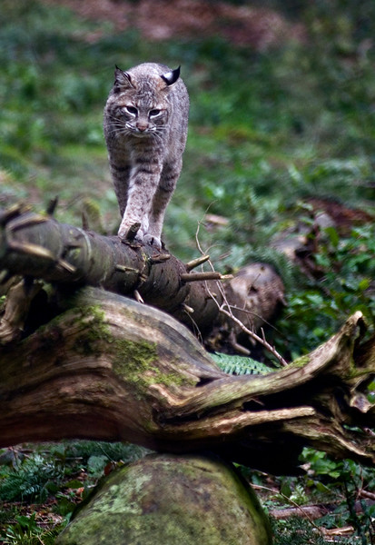 Bobcat climbs up a dead tree<br /> <br /> Wildlife photography - Pictures of Animals - by professional wildlife photographer Christina Craft