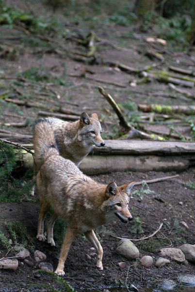A pair of coyotes near a river bank<br /> Wildlife photography - Pictures of Animals - by professional wildlife photographer Christina Craft