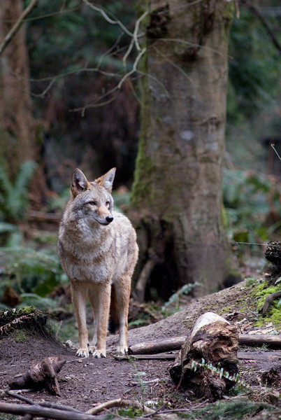 Coyote in the rainforest - shot vertically with enough room for text on the left hand side<br /> <br /> Wildlife photography - Pictures of Animals - by professional wildlife photographer Christina Craft