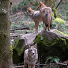 Photograph of a group / pack of coyotes<br /> <br /> Wildlife photography - Pictures of Animals - by professional wildlife photographer Christina Craft