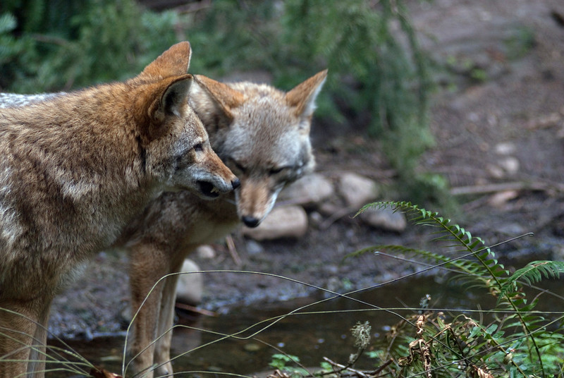Dog fight - A pair of coyotes <br /> Wildlife photography - Pictures of Animals - by professional wildlife photographer Christina Craft