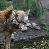 Dog fight - A pair of coyotes  Wildlife photography - Pictures of Animals - by professional wildlife photographer Christina Craft
