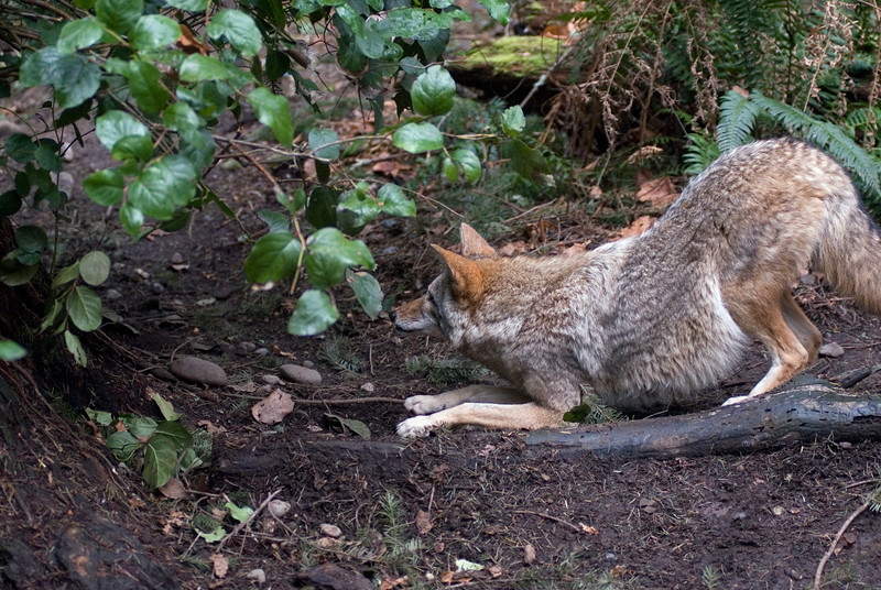 Coyote - shot horizontally with enough room for text<br /> Wildlife photography - Pictures of Animals - by professional wildlife photographer Christina Craft