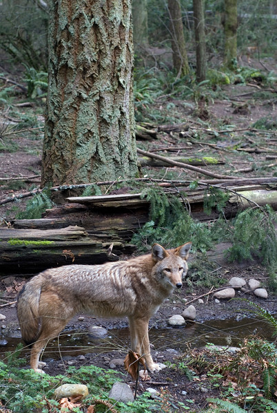 Picture of a coyote by a stream in the rainforest<br /> <br /> Wildlife photography - Pictures of Animals - by professional wildlife photographer Christina Craft