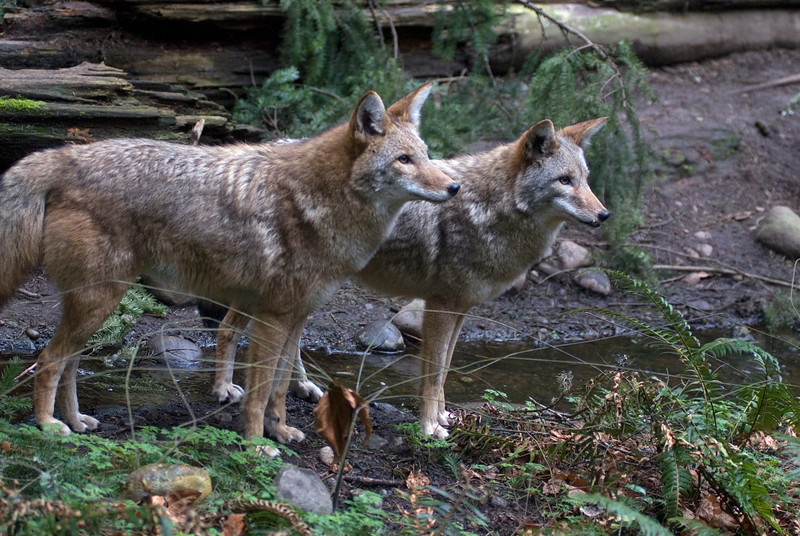 A pair of coyotes at a stream<br /> Wildlife photography - Pictures of Animals - by professional wildlife photographer Christina Craft