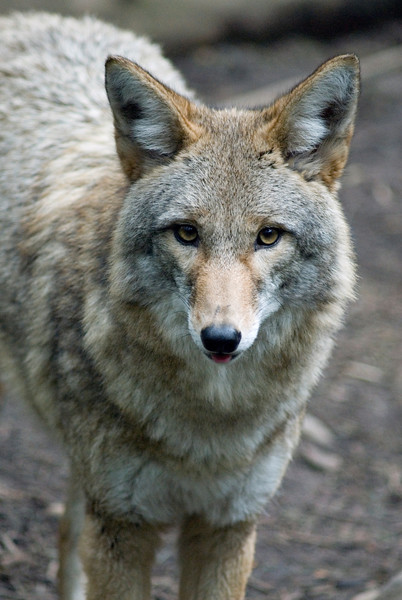 Coyote Portrait - picture of a coyote<br /> Wildlife photography - Pictures of Animals - by professional wildlife photographer Christina Craft