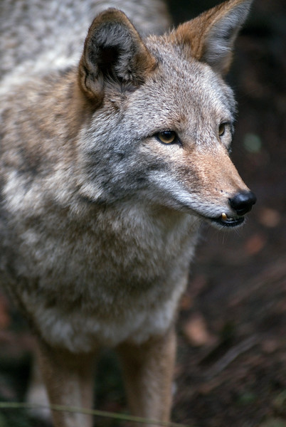 Coyote closeup - <br /> Wildlife photography - Pictures of Animals - by professional wildlife photographer Christina Craft