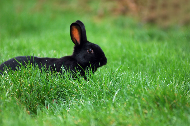 Wild black rabbit<br /> Professional Wildlife Photography by Christina Craft of the Nature Stock Photography Library