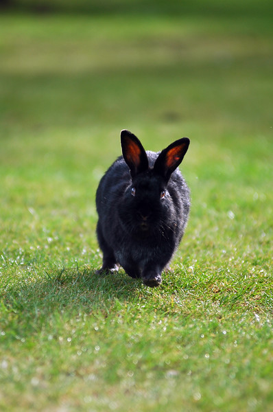 A cute black bunny rabbit runs towards the camera <br /> Professional Wildlife Photography by Christina Craft of the Nature Stock Photography Library