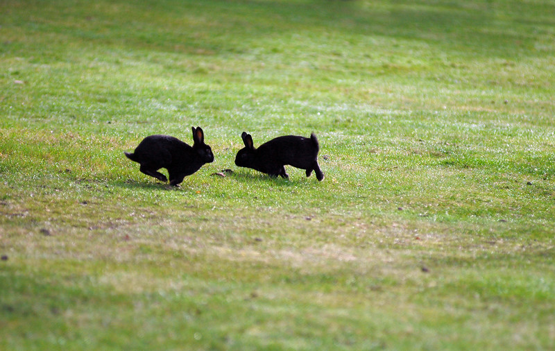 Two black bunny rabbits almost collide<br /> Professional Wildlife Photography by Christina Craft of the Nature Stock Photography Library