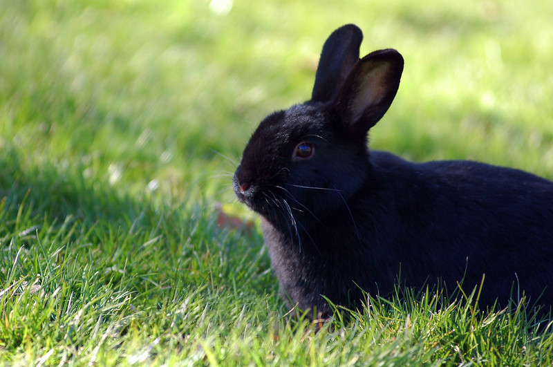 black rabbit in the grass<br /> Professional Wildlife Photography by Christina Craft of the Nature Stock Photography Library