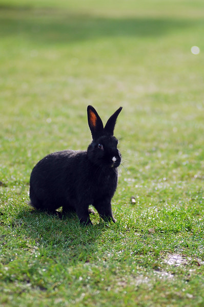 Black bunny rabbit with a white nose <br /> Professional Wildlife Photography by Christina Craft of the Nature Stock Photography Library