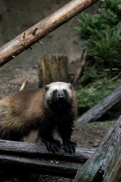 Wolverine<br /> Wildlife photography - Pictures of Animals - by professional wildlife photographer Christina Craft