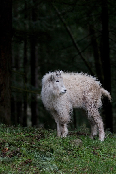 Baby animal picture of a baby mountain goat kid<br /> Wildlife photography - Pictures of Animals - by professional wildlife photographer Christina Craft