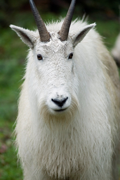 Mountain Goat<br /> Wildlife photography - Pictures of Animals - by professional wildlife photographer Christina Craft