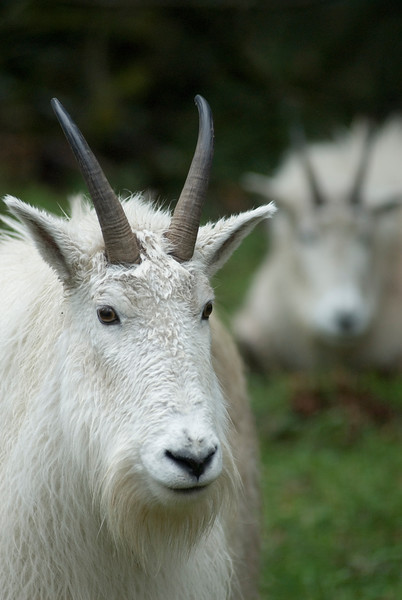 White Mountain Goats <br /> Wildlife photography - Pictures of Animals - by professional wildlife photographer Christina Craft