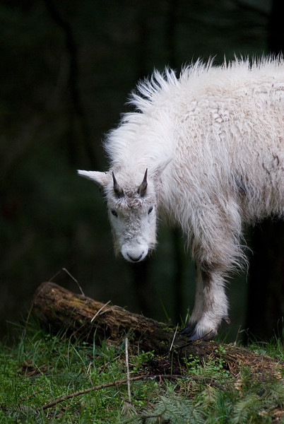 Baby mountain goat kid<br /> Wildlife photography - Pictures of Animals - by professional wildlife photographer Christina Craft