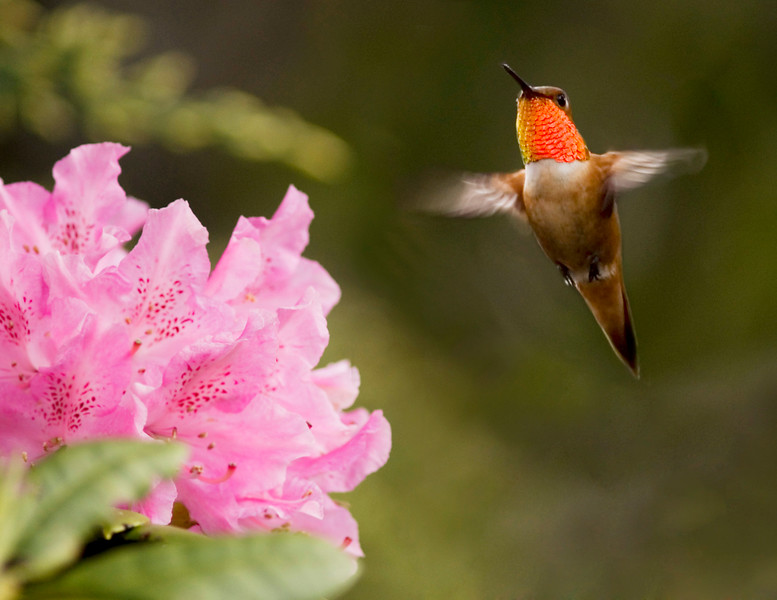 Rufous Hummingbird - by Christina Craft of the Nature Stock photography library