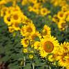 Sunflowers-30