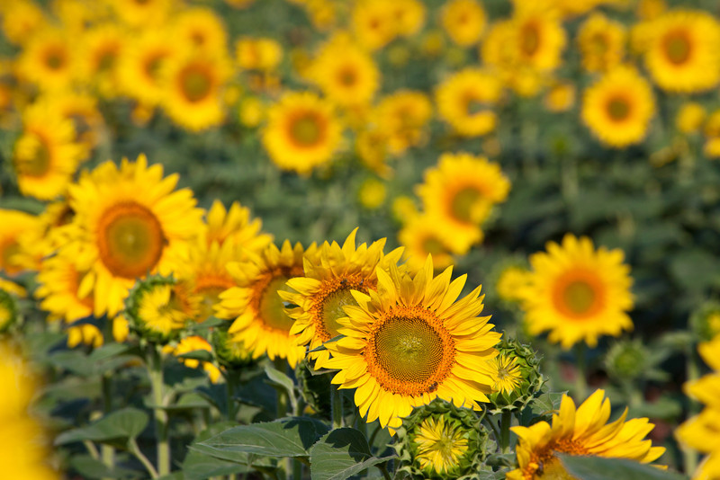 Sunflowers-28