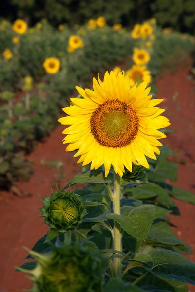 Sunflowers-13