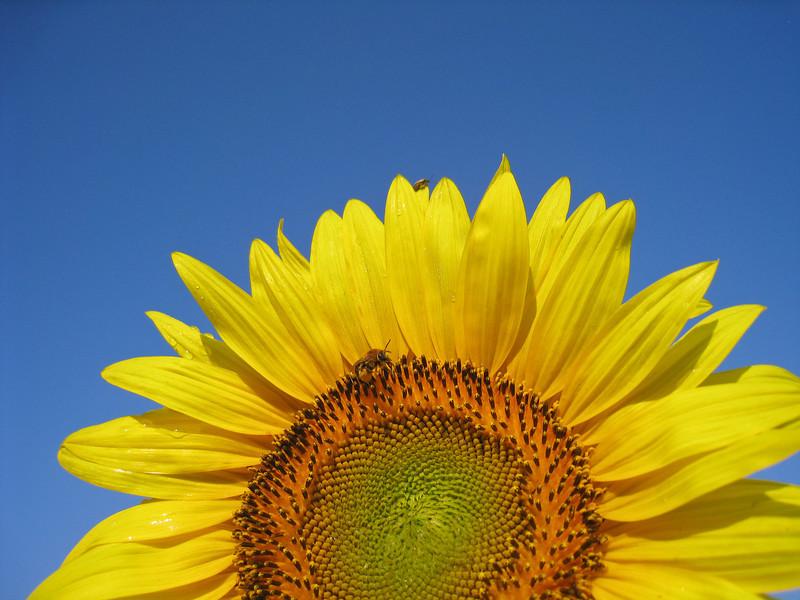 Sunflowers-17
