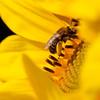 Sunflowers-23