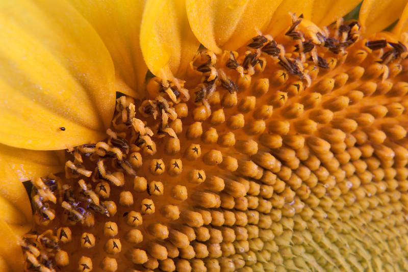 Sunflowers-6