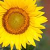 Sunflowers-14