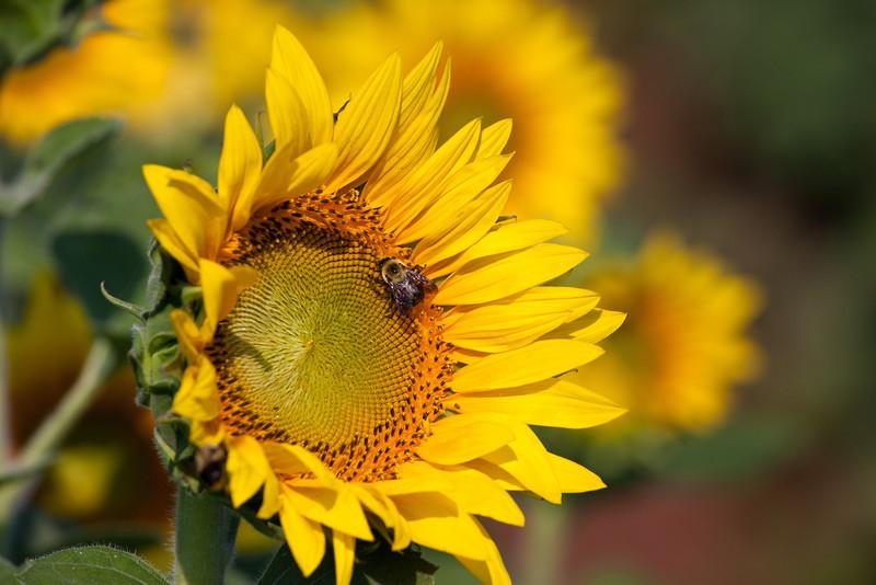 Sunflowers-31