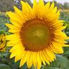 Sunflowers-10
