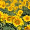 Sunflowers-29