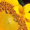 Sunflowers-15