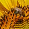 Sunflowers-19