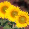 Sunflowers-25