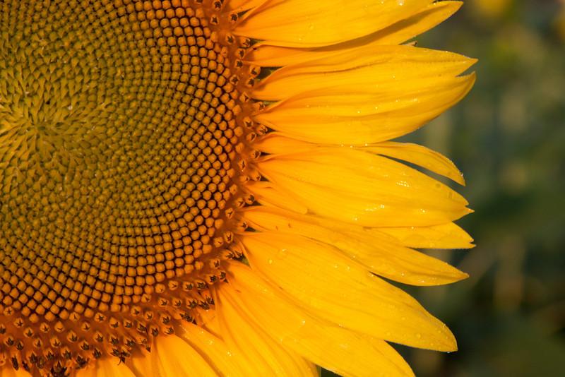 Sunflowers-11