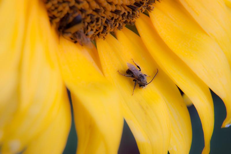 Sunflowers-5