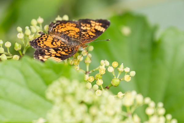 Butterfly - Near Sparrow Pond