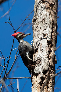 Pileated Woodpecker - Lubber Run Park