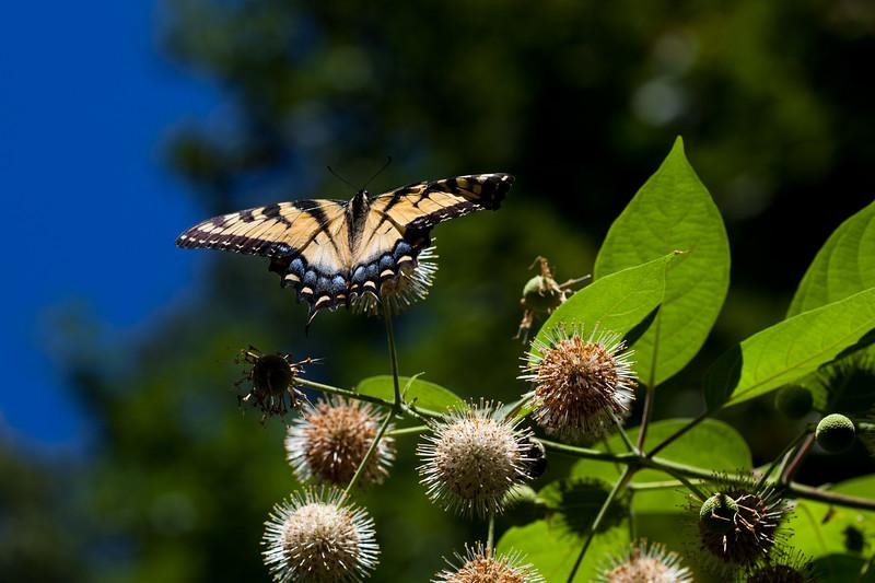 Eastern Tiger Swallowtail - Long Branch Nature Center, Arlington VA