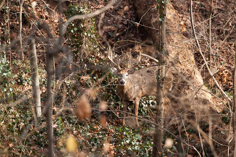 Old Mr. Nine Point - White Tailed Deer